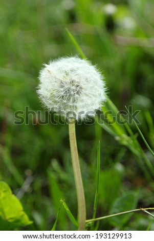 Dandelion background for your design