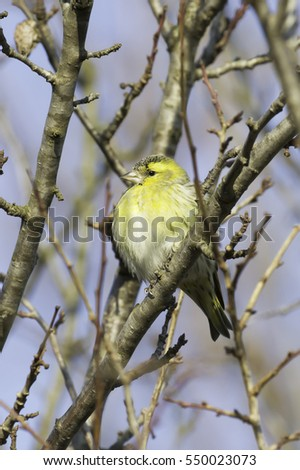 Eurasian Siskin, Carduelis spinus,male, song bird sitting on the branch