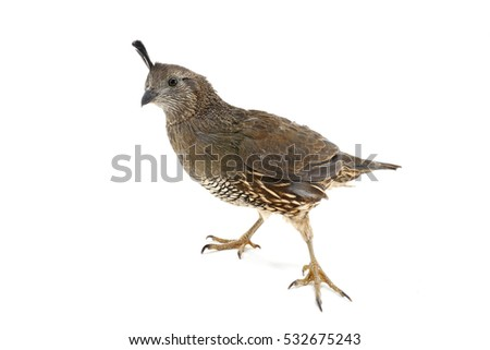 Female California Quail isolated on a white background