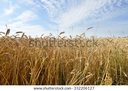 field of wheat crops in summer day