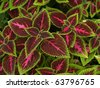 floral background of Coleus (Painted Nettle) - stock photo
