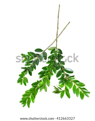 floral  ellements   with leaves  from bouquet, on the white background.
