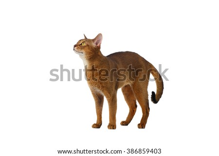 Funny Abyssinian Cat Standing and Looking up isolated on White background