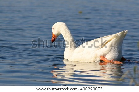 geese swimming on water