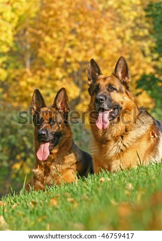 2 german shepherds on the green grass in bright autumn day