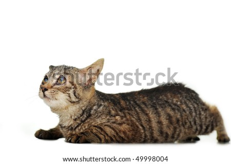 gray striped kitten  isolated