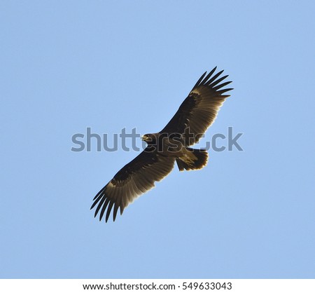 Greater spotted eagle (Clanga clanga), a large bird of prey or raptor, flying and gliding over dry rice field looking for food in Thailand. Beautiful shot of eagle, fly free in the clear blue sky.