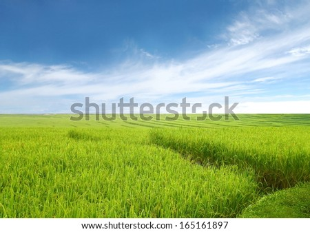 green field  and blue sky background, Rice field green grass blue sky cloud landscape