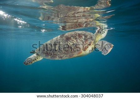 GREEN SEA TURTLE BREATHING AIR ON SURFACE