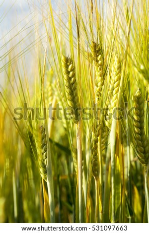 green unripe ears of wheat in the summer in the agricultural field. Photo taken closeup with a small depth of field.