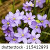 growing in the wood some flowers of dark blue color. spring - stock photo