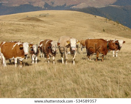 Herd of cows climbs a slope of the hill
