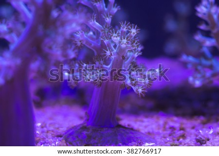 Kenia Tree Coral  or Cauliflower soft coral (Litophytonand Nephthea)