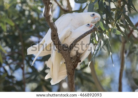 little corellas mating