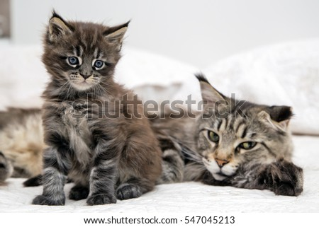 Little fluffy kitten Maine Coon cat lying with his mother.