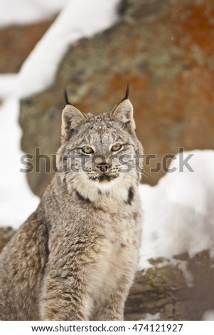 Lynx is sitting proudly. Standing like a statue on snow. Lynx is standing on a hill and looking attentively. He is standing in the middle of snow. Lynx is moving forward.