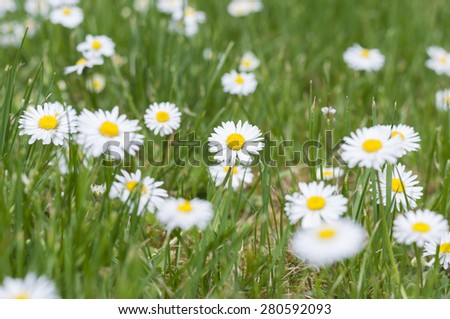 Nature background, a meadow with daisies.