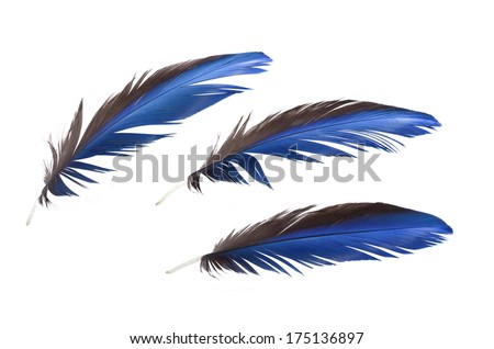 3 of Real MACAW bird Feathers. Natural colors: Blue, Grey. Isolated on white background.