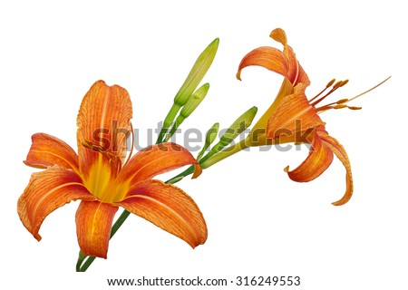 Orange Day Lily flower or Tiger Daylily, Fulvous Daylily, Ditch Lily, Railroad Daylily, Tiger Lily