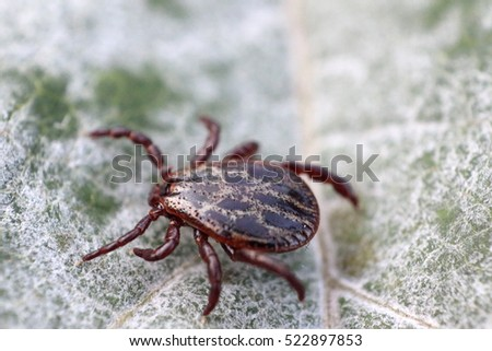 Ornate sheep tick (Dermacentor marginatus) female