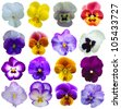 16 Pansies flowers on White background - stock photo