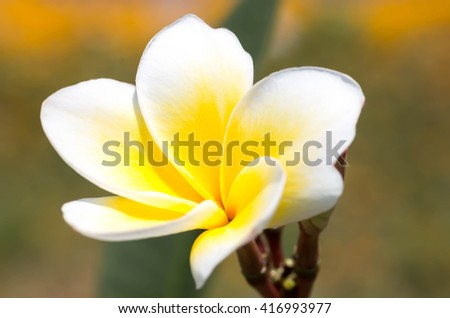 plumeria flower blooming on tree.