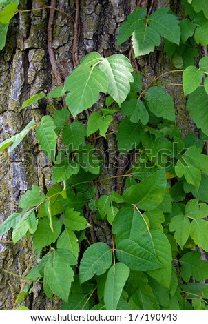 Poison ivy vine on a tree trunk (disambiguation)