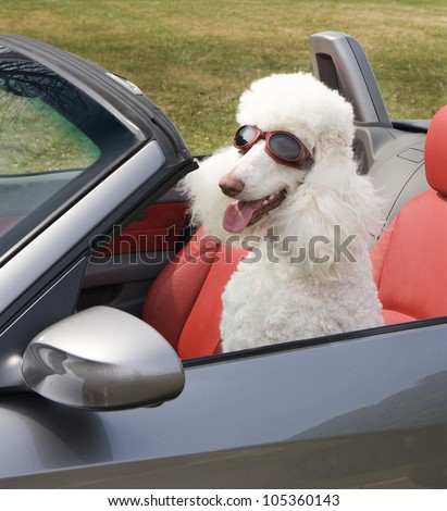 Poodle with goggles driving a sports car