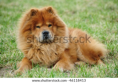 red chow On a green grass
