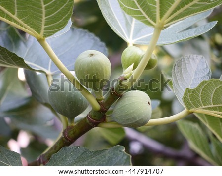 Ripe fig fruits on tree branch