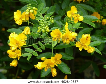 Senna spectabilis is a plant species of the legume family (Fabaceae) in the subfamily Caesalpinioideae.
