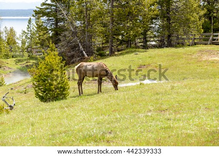 The mule deer is a deer whose habitat is in the western half of North America, West Thumb area of Yellowstone National Park, Wyoming. / The Mule Deer / Yellowstone, United States - May 31, 2015
