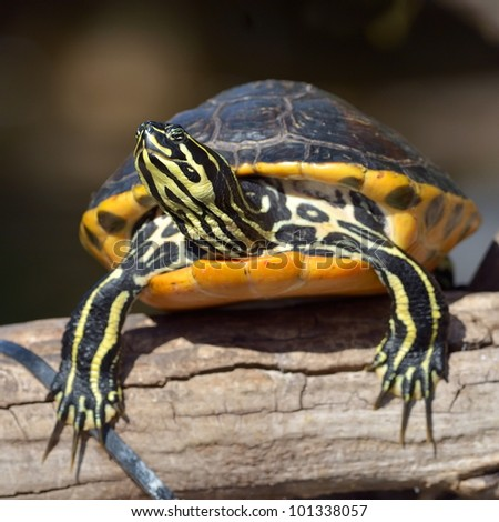 Land turtle Stock Photos, Illustrations, and Vector Art