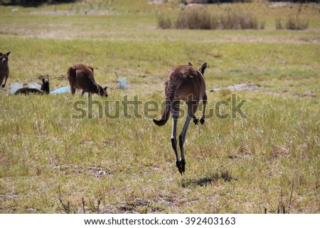 Western grey kangaroos (Macropus fuliginosus) black-faced, or sooty kangaroos hopping after grazing in a  paddock of dry grass near Australind, Western Australia on a sunny autumn morning  .