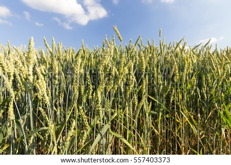 wheat immature green, growing in an agricultural field. Small depth of field close-up's photos made. Summer season.