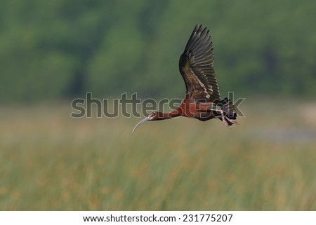 White-faced Ibis (Plegadis chihi) in Breeding Plumage Flying Over a Marsh - Texas