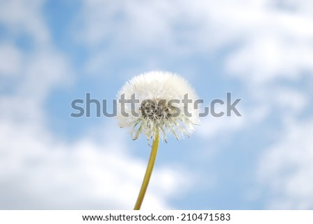 white fluffy dandelion on blue sky background