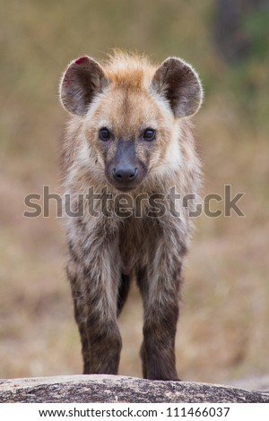 A baby spotted hyena staring at the camera