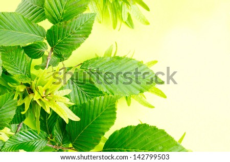 a background from hornbeam leaves