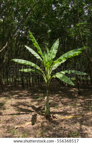 A banana plant grow up around rubber tree