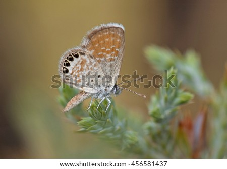 A beautiful and dainty butterfly called the Western Pygmy-Blue rests on some foliage in a Colorado canyon.
