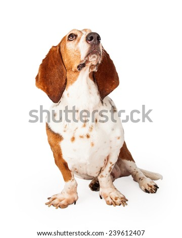 A beautiful Basset Hound dog sitting and looking up and off to the side.