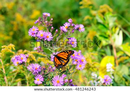 A beautiful female Monarch butterfly (Danaus plexippus) sitting on the magenta asters