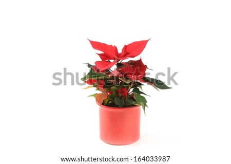 A beautiful red poinsettia is a popular houseplant for Christmas, isolated on a white background