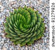 A beautiful Spiral Aloe (Aloe Polyphylla) in a bed of course gravel. - stock photo