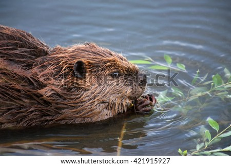 a beaver in a local park eating leaves off a branch - shallow DOF FOCUS on the eye