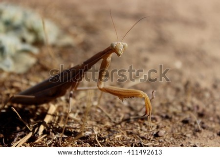 A beige praying mantis on a dirt path.