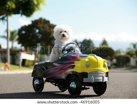 a bichon frise dog drives her hot rod pedal car around town