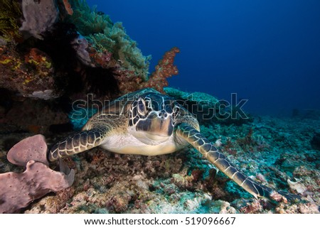 A big green sea turtle sleeping next to soft coral