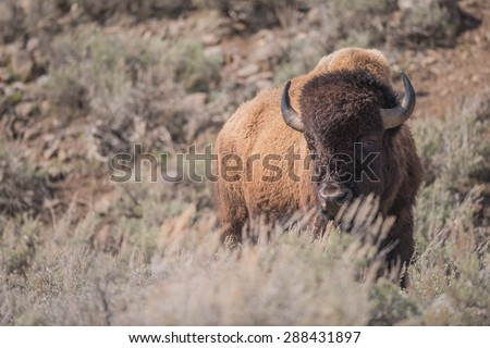 A bison stands behind some sagebrush looking at photographer